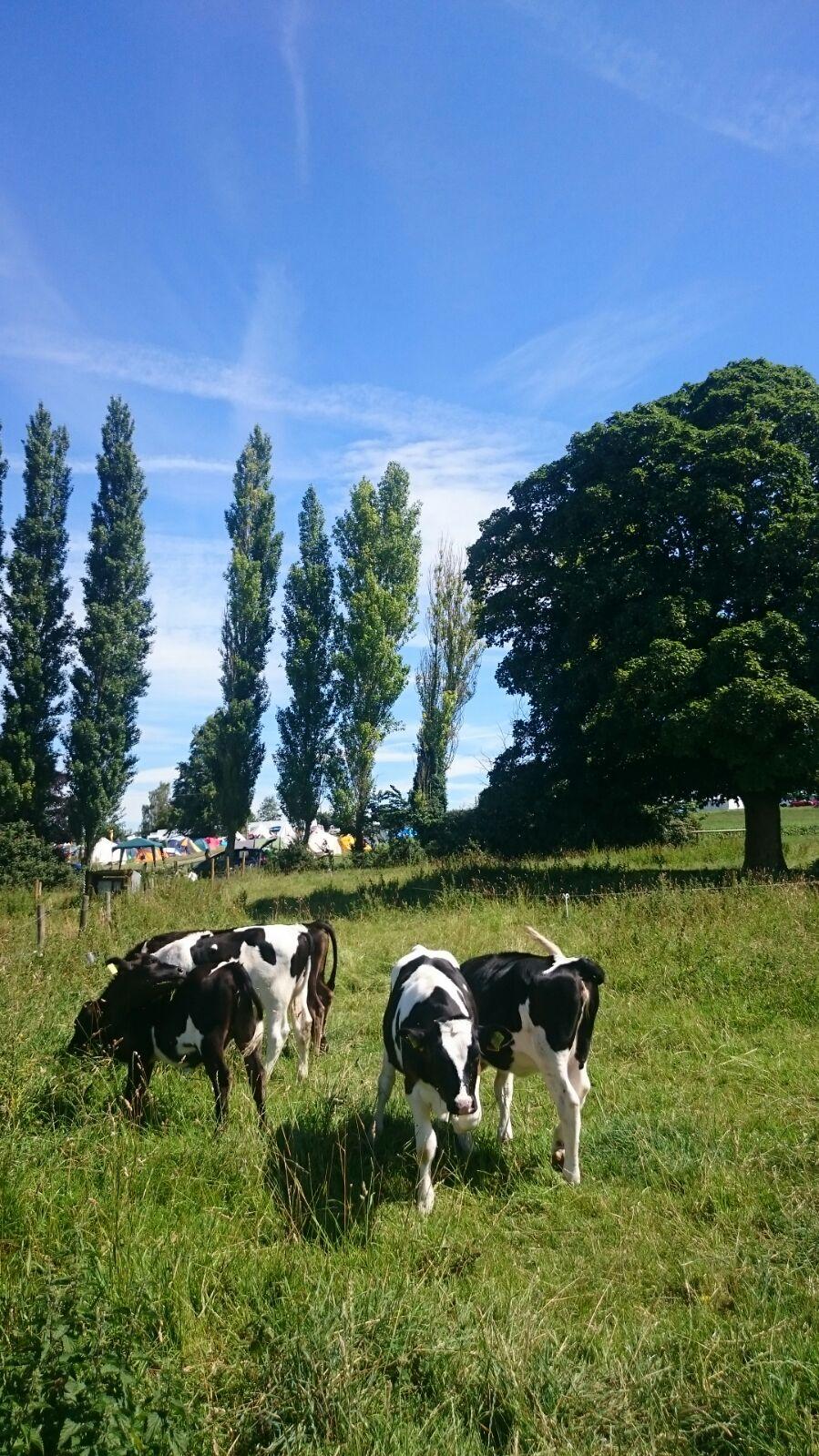 Calfs and our dear neighbours beyond