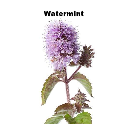 watermint.jpg