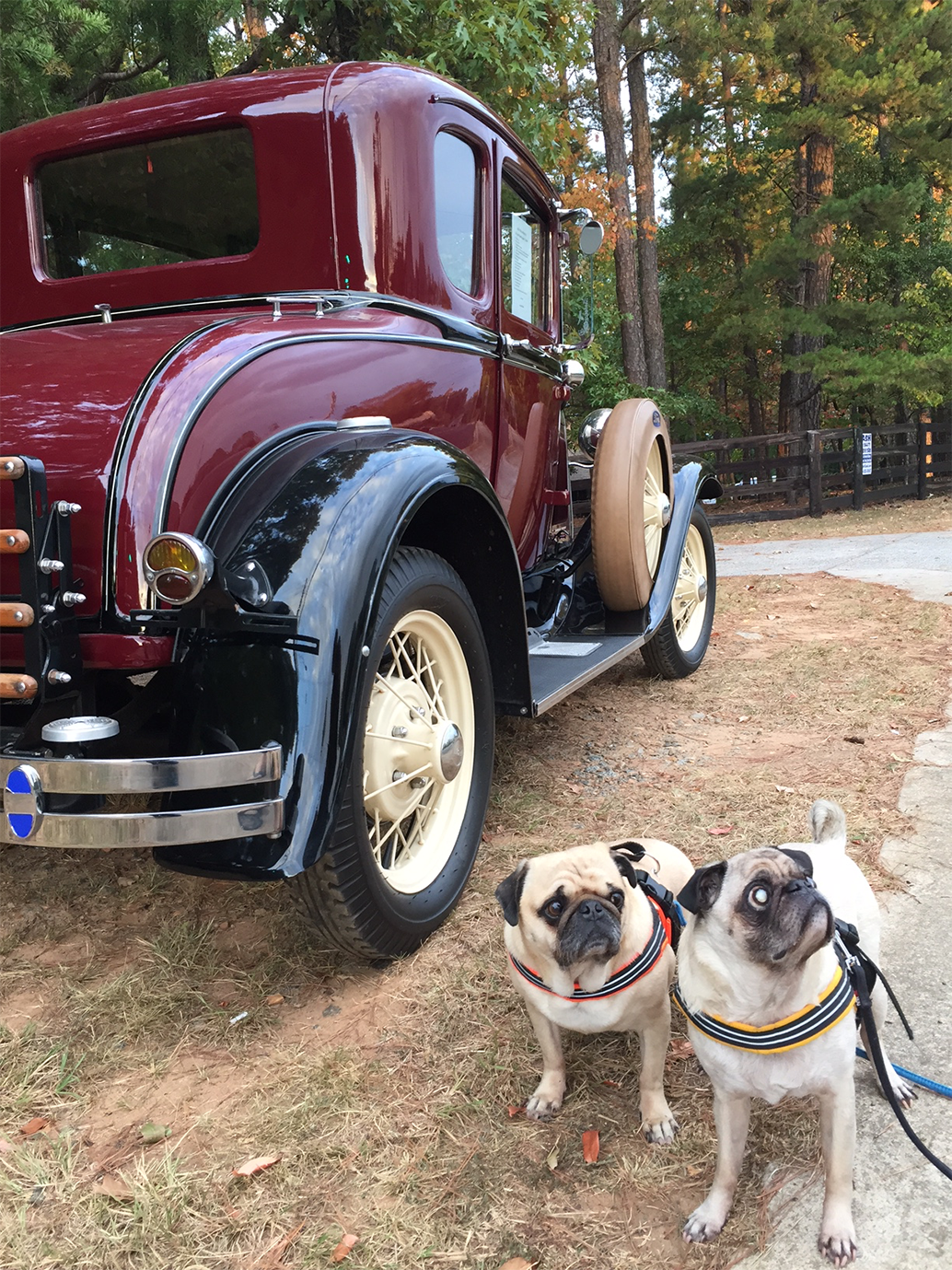 Bodie & Spanky Rescue Pugs - Blind but Not