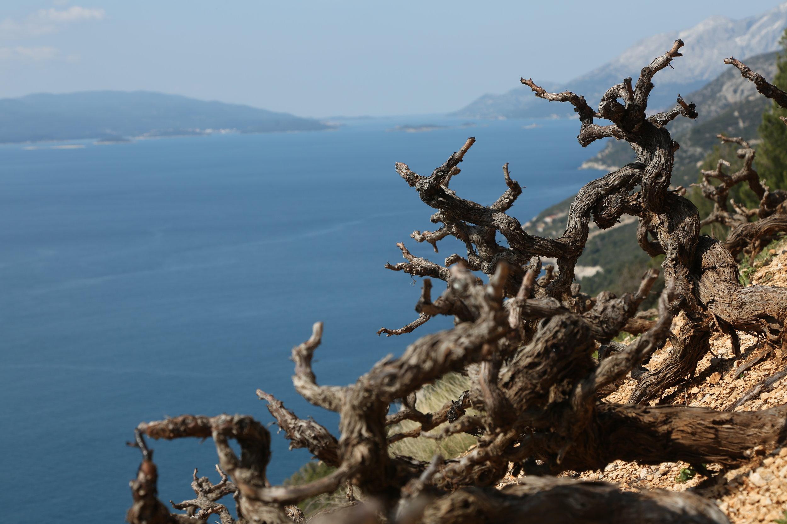 Gnarly vines_Dingac, Peljesac Peninsula.JPG