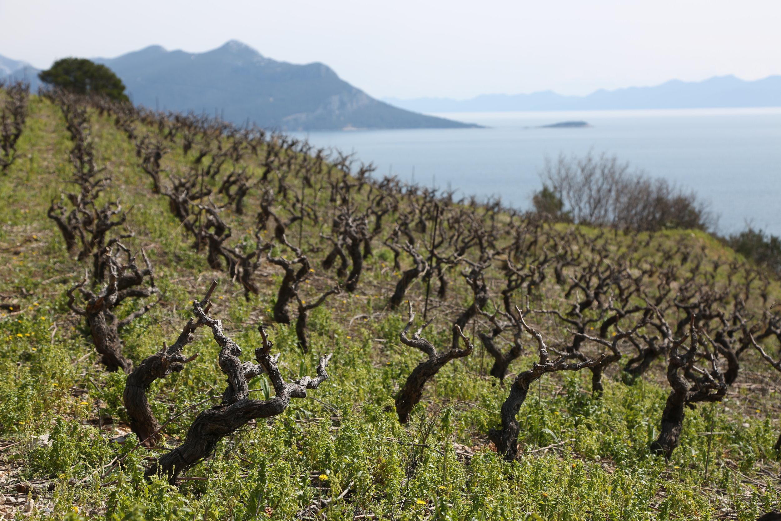 Rows of vines with a view_Dingac, Peljesac Peninsula.JPG