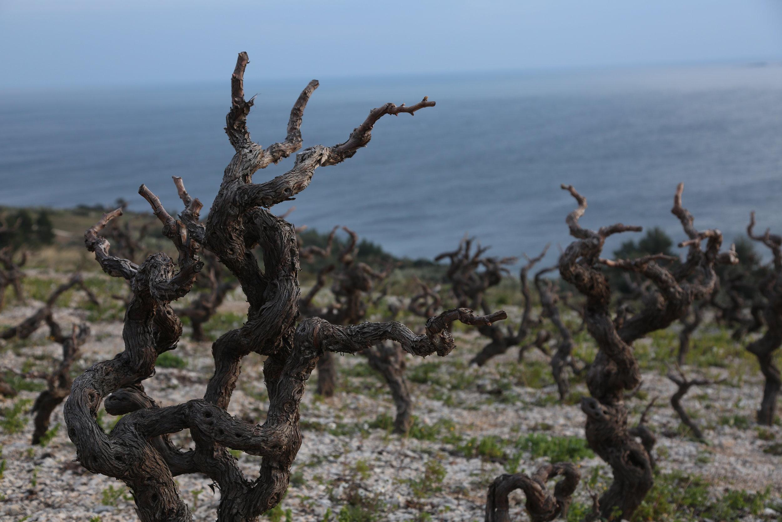 Vines in Peljesac Peninsula.JPG