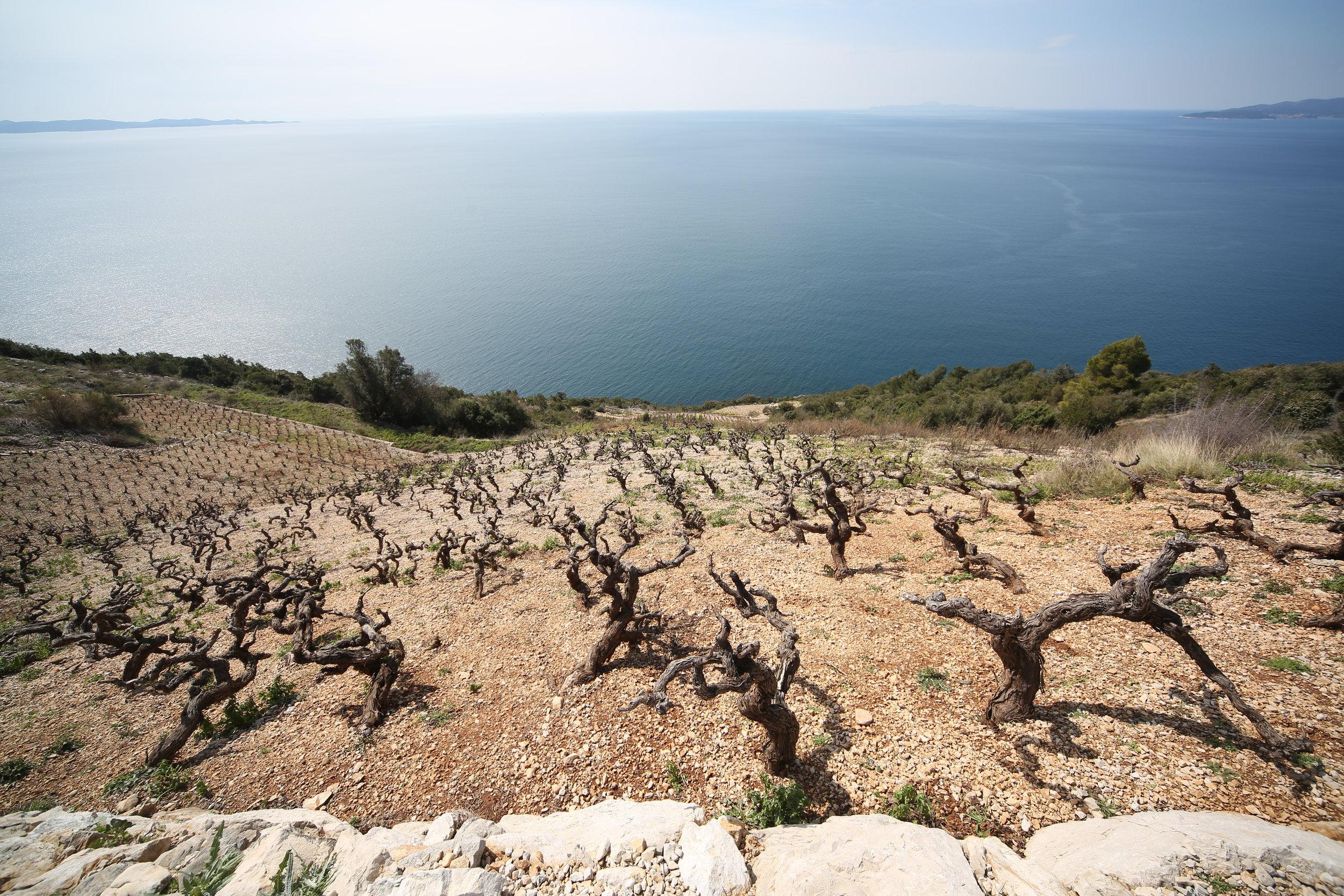 Vines with a view_Dingac_Peljesac Peninsula.JPG