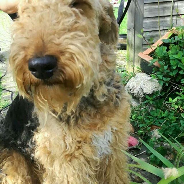 Lottie's having a much needed clip this afternoon. She's now half the dog she used to be !  #airedaleterrier #airedalesofinstagram #dogclipping #suchagoodgirl