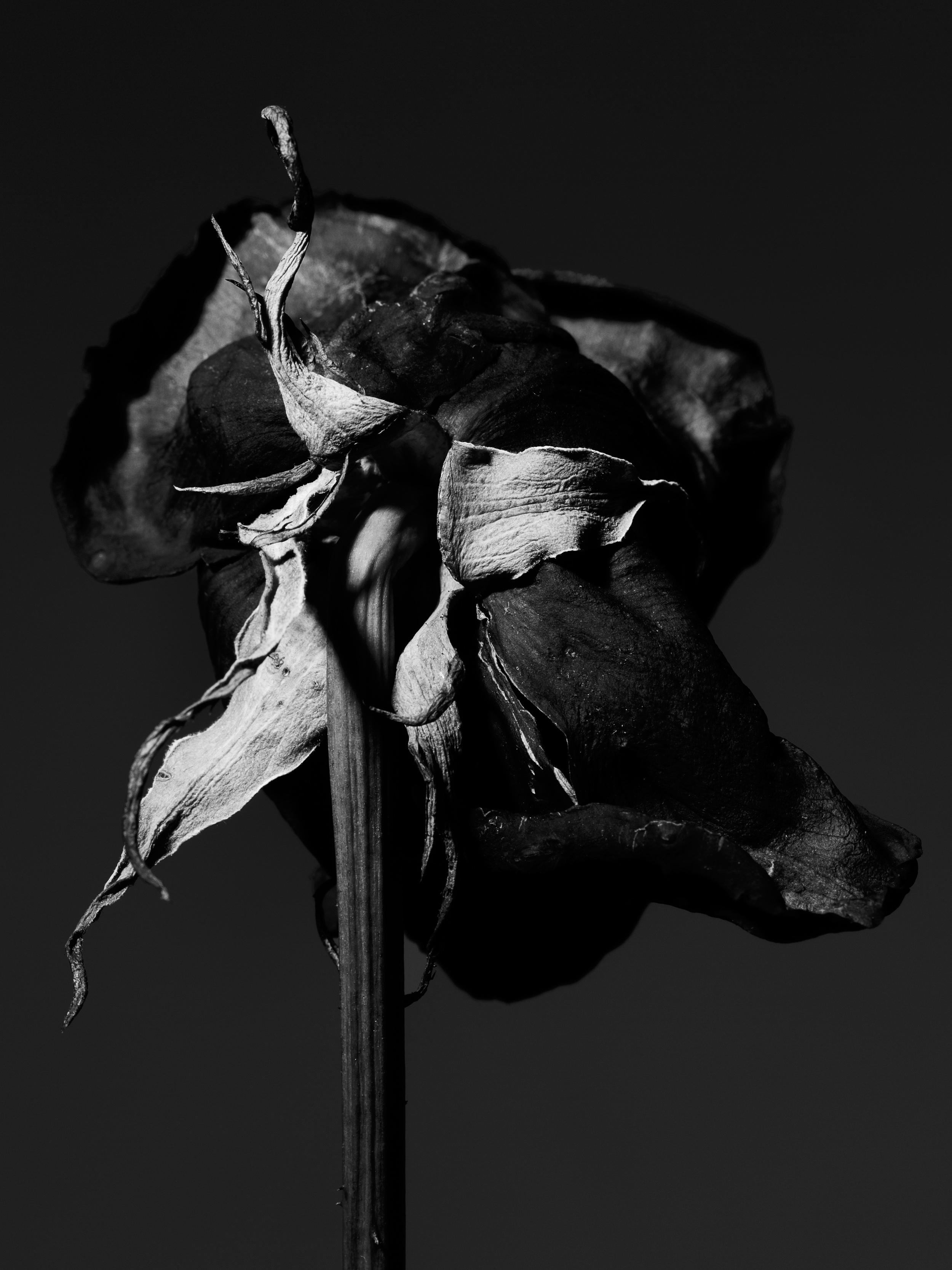 +++dried_red_rose_117.jpg