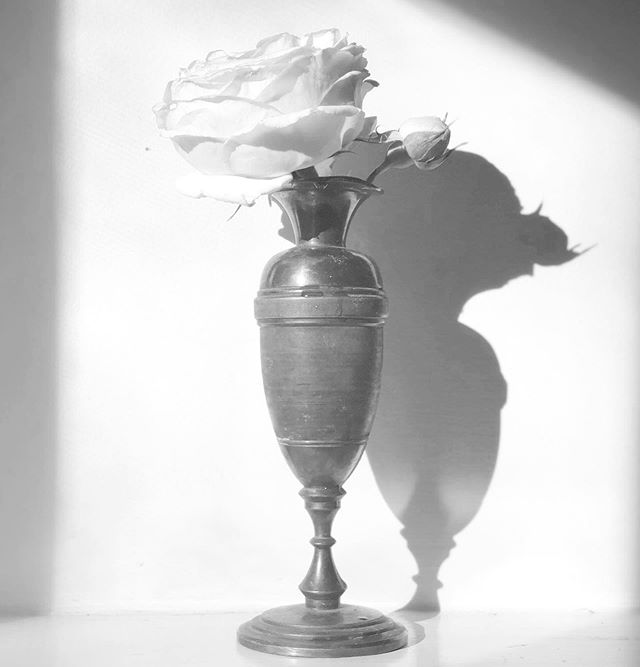#rose #garden #afternoonlight #b&w #graphic #shadow #light