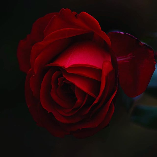 """""""It will never rain roses - when we want to have more roses, we must plant more trees"""". Happy Valentines Day. We'll be open tonight for our extra special, four-course Valentine's Day dinner starting at 5PM. Reservations can be made by visiting thedetroitclub.com"""