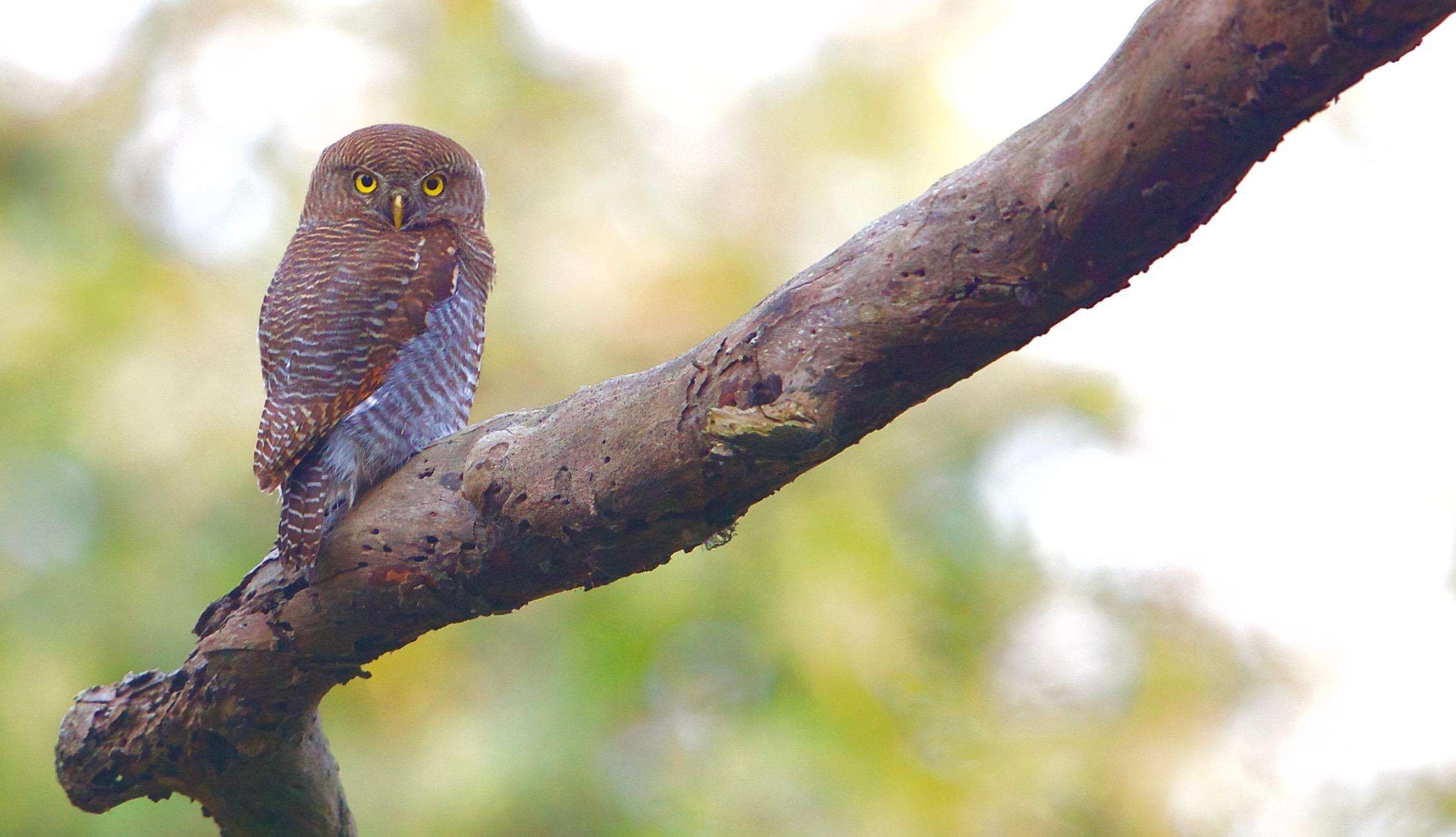 jungle owlet - 1.jpg