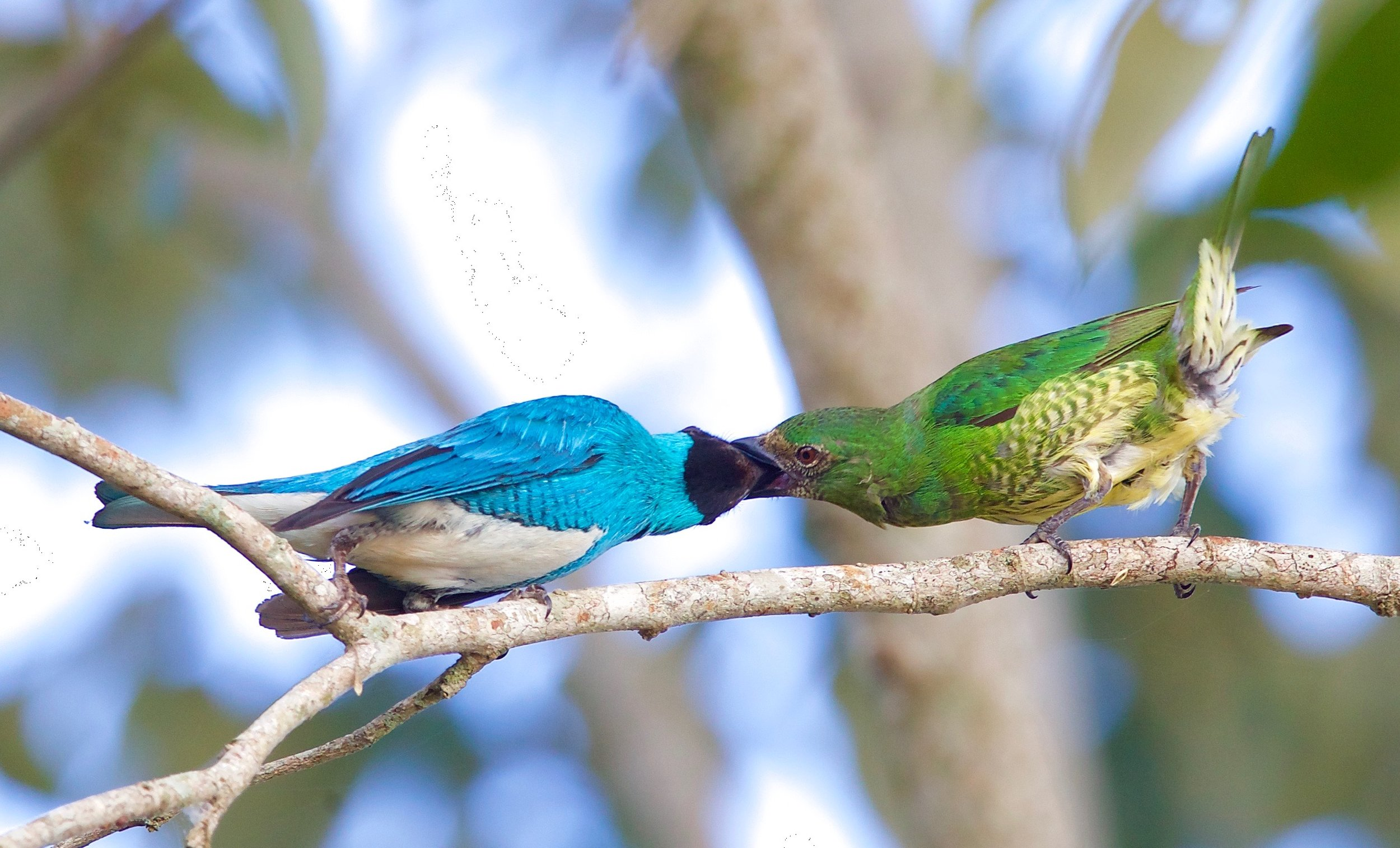 swallow tanager pair - 1.jpg