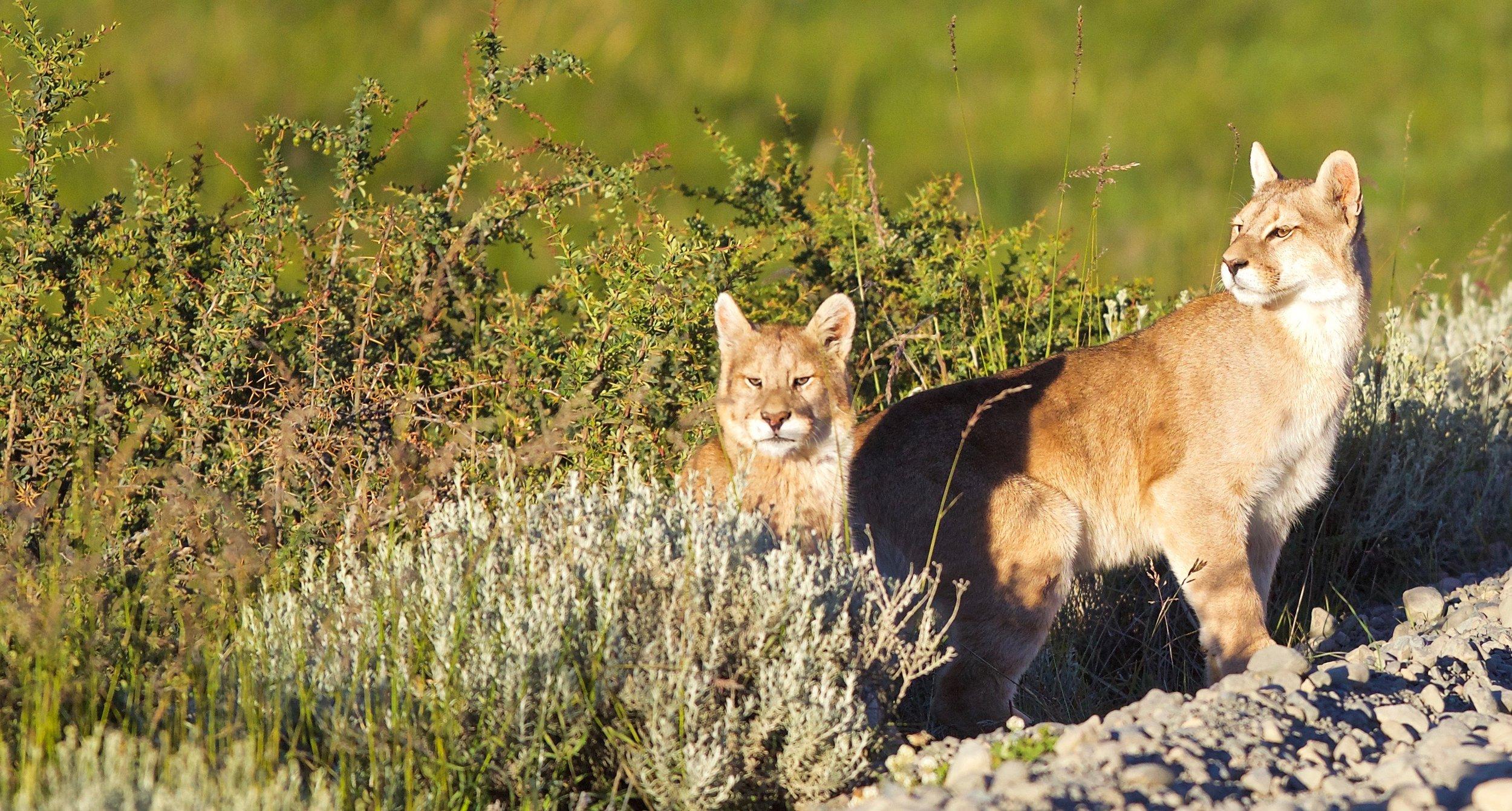 puma cubs close - 1.jpg