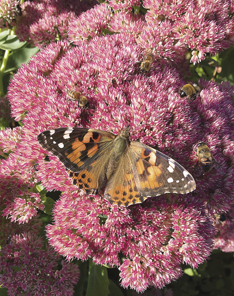 Spreading Wings: North Shore Butterflies - Northern Wilds MagazineBy Ali JutenPublished May 29, 2018