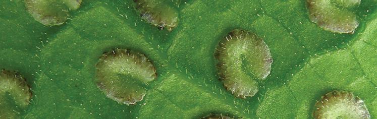 tectaria-morsei-dryopteridaceae-2.0.298.750.236.747.236.c.png