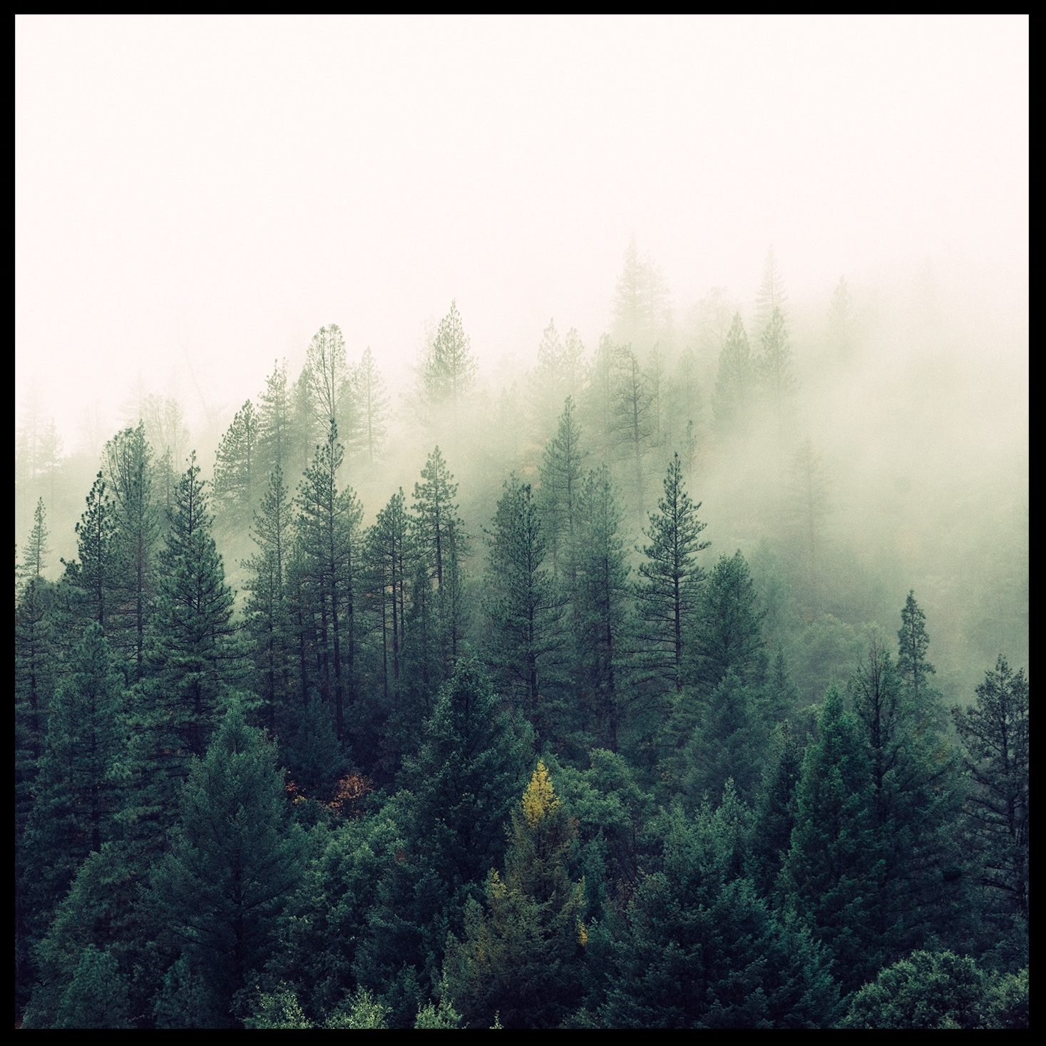 nature-forest-trees-fog.jpeg