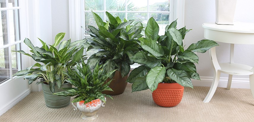 Costa-Farms-Chinese-Evergreen---Aglaonema-Houseplant.jpg