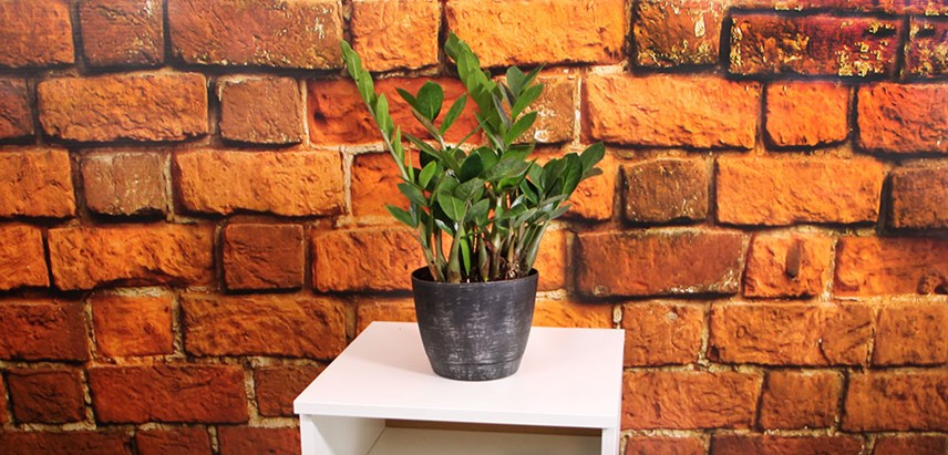 ZZ-Plant-Costa-Farms-Houseplant.jpg