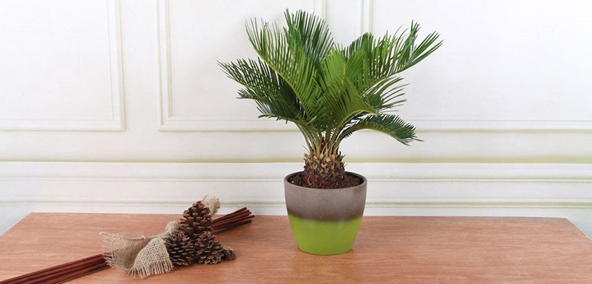 Sago-Palm-Costa-Farms-Houseplant.jpg