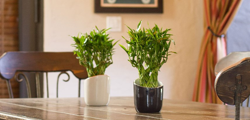 Costa-Farms-Lucky-Bamboo-Indoor-Plant.jpg