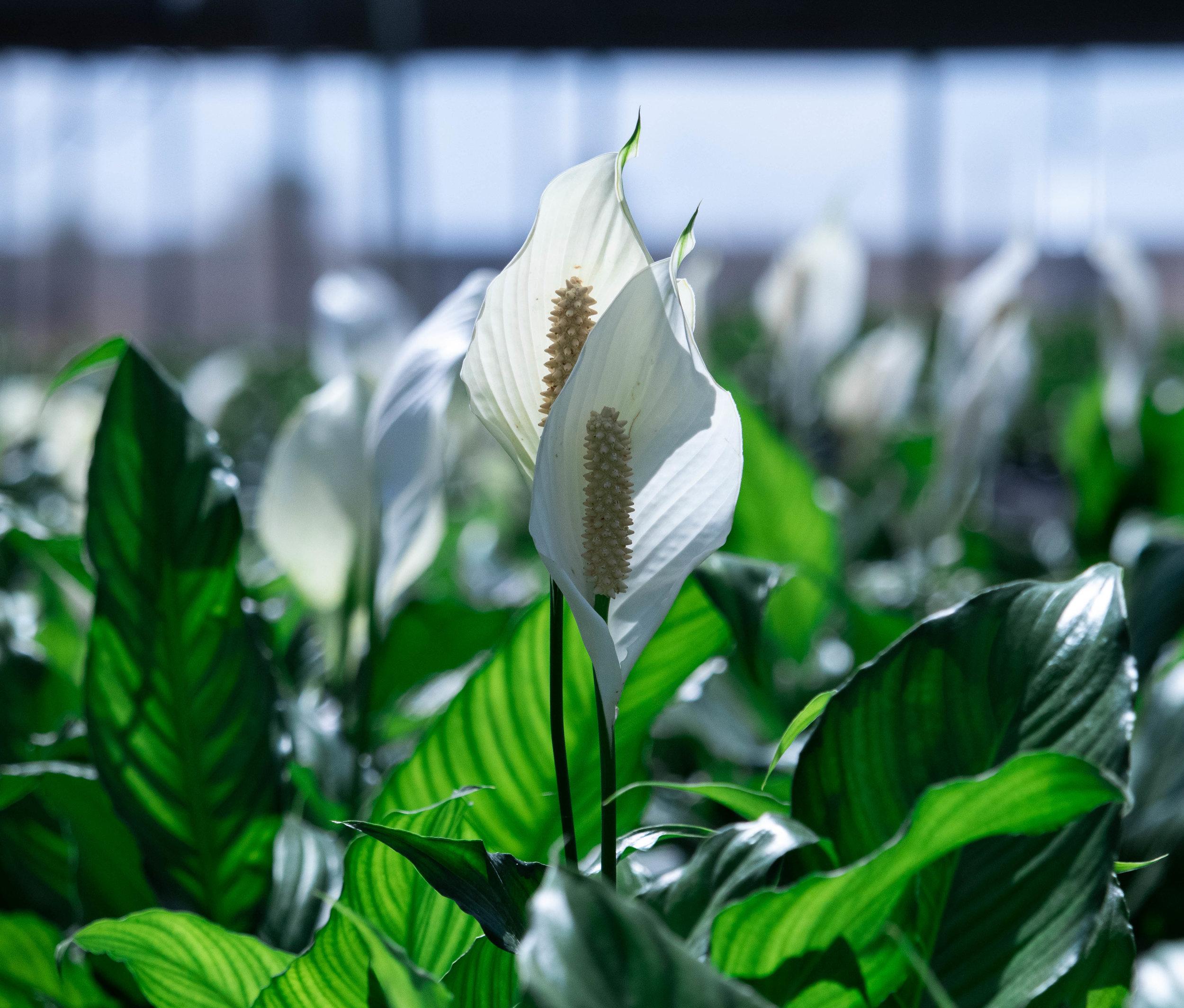 Cala Blanca - Spathiphyllum Spp