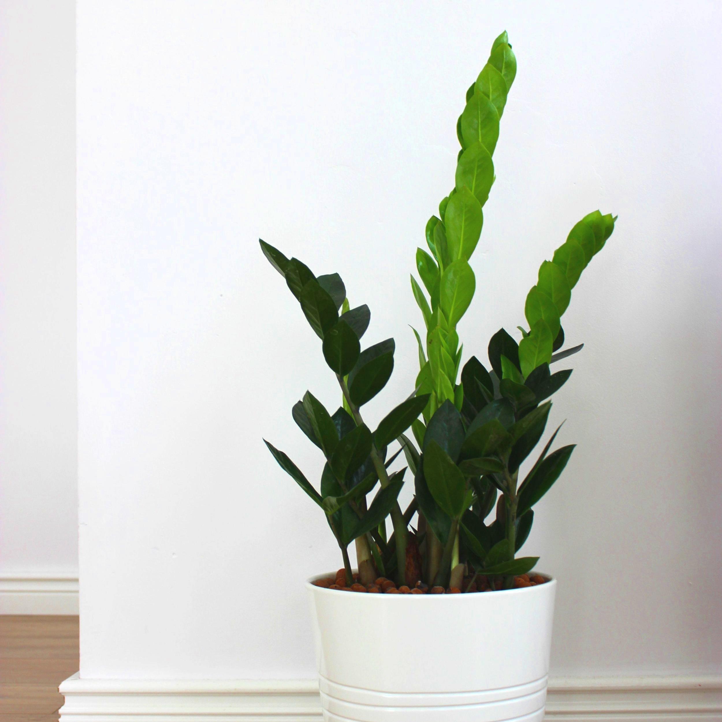 Zamia - Zamioculcas zamiifolia