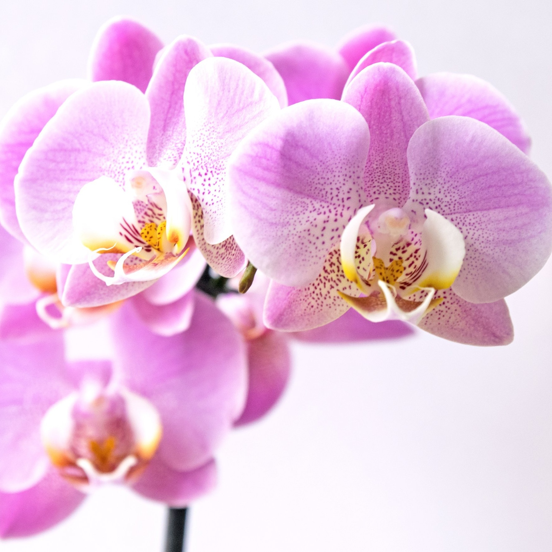 Orquídea - Phalaenopsis