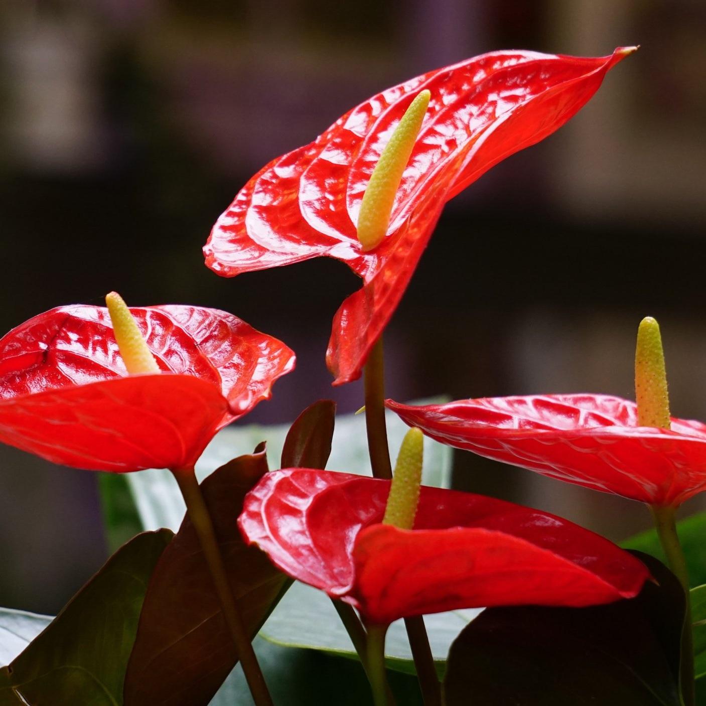 Anturium - Anthurium spp.