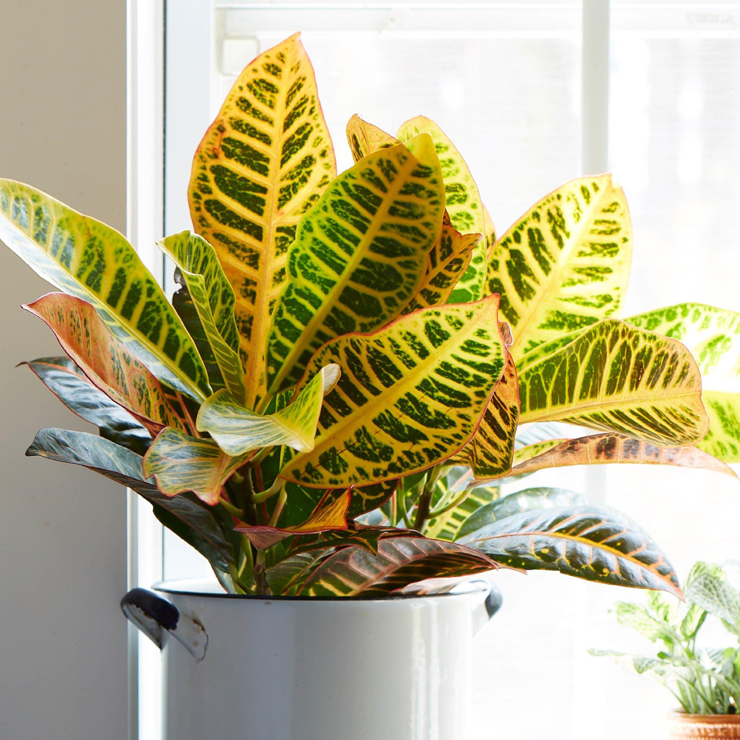 Croton - Codiaeum spp.