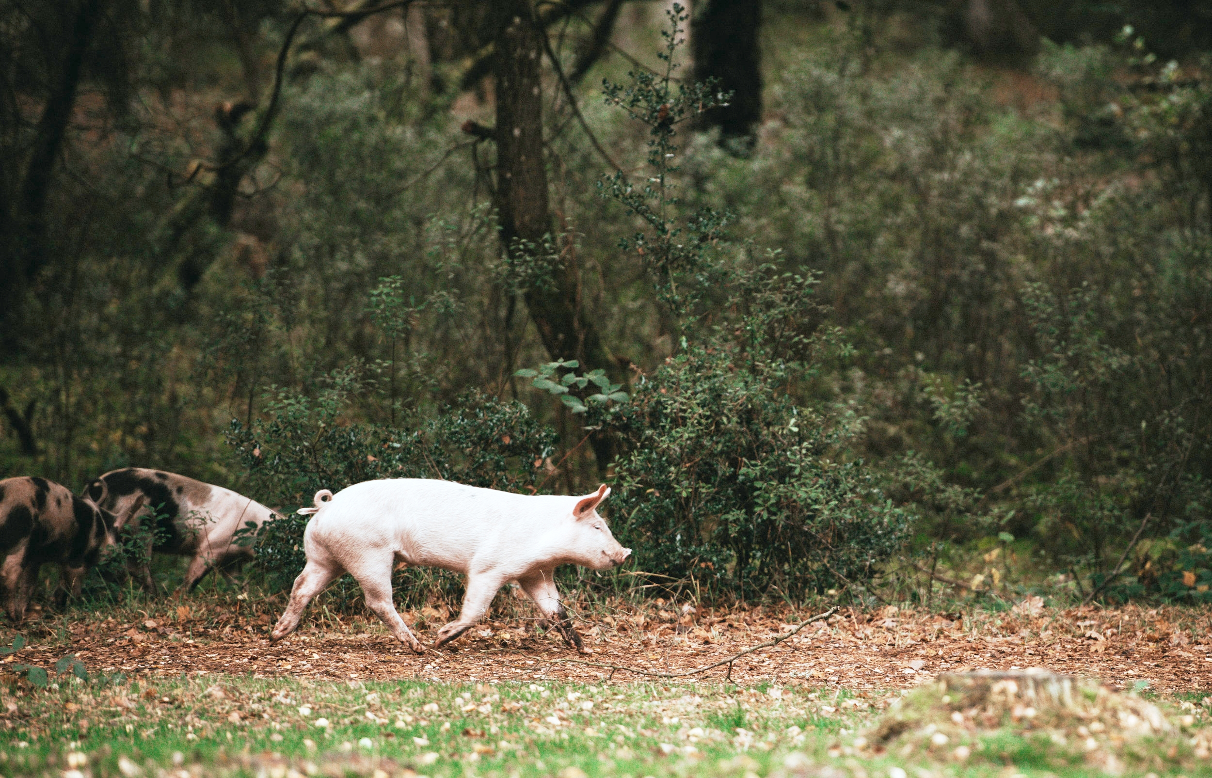 health benefits of bacon from pastured pork