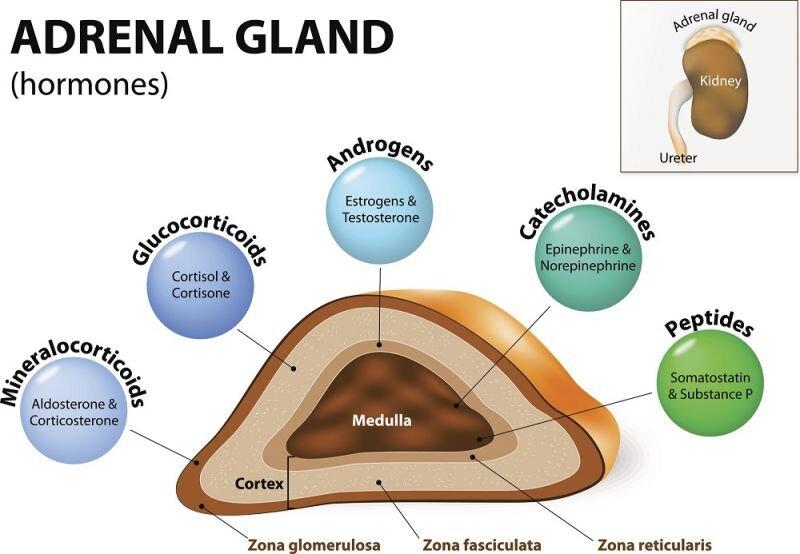 Insulin's effect on Adrenal Hormones