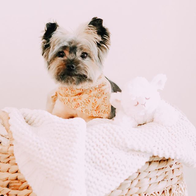 Happy 8th birthday, Chlo bear 🐻 Enjoy my favorite fluff in a basket with her new lamb toy ✨