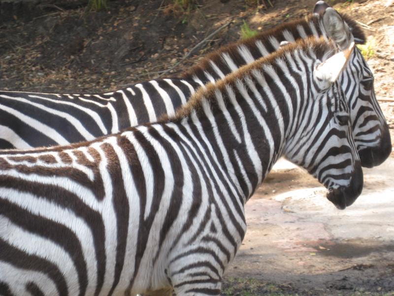 animal+kingdom+fastpass+kilimanjaro.jpg