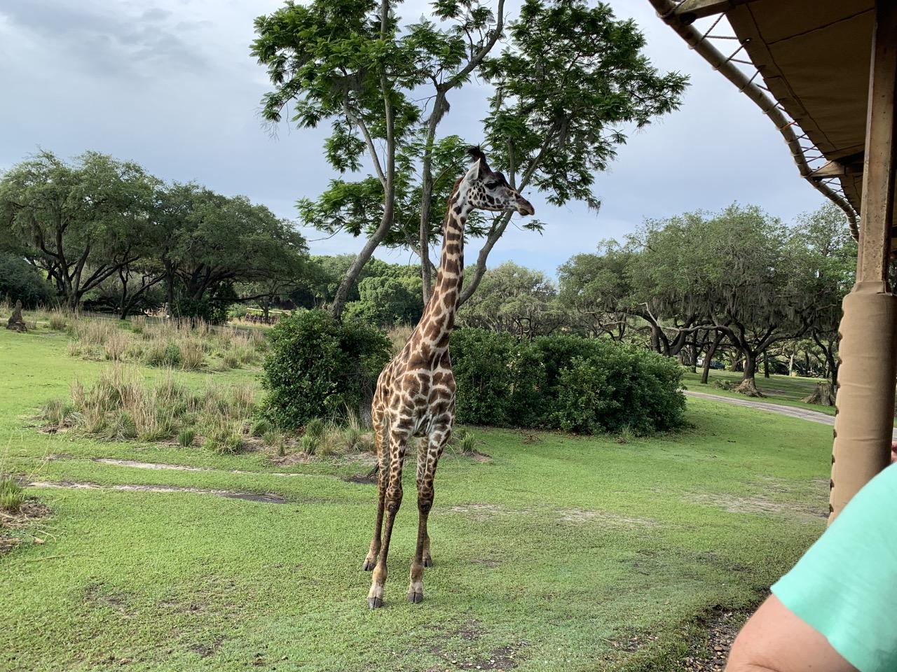 disney world trip report early summer 2019 day three 37 safari.jpeg