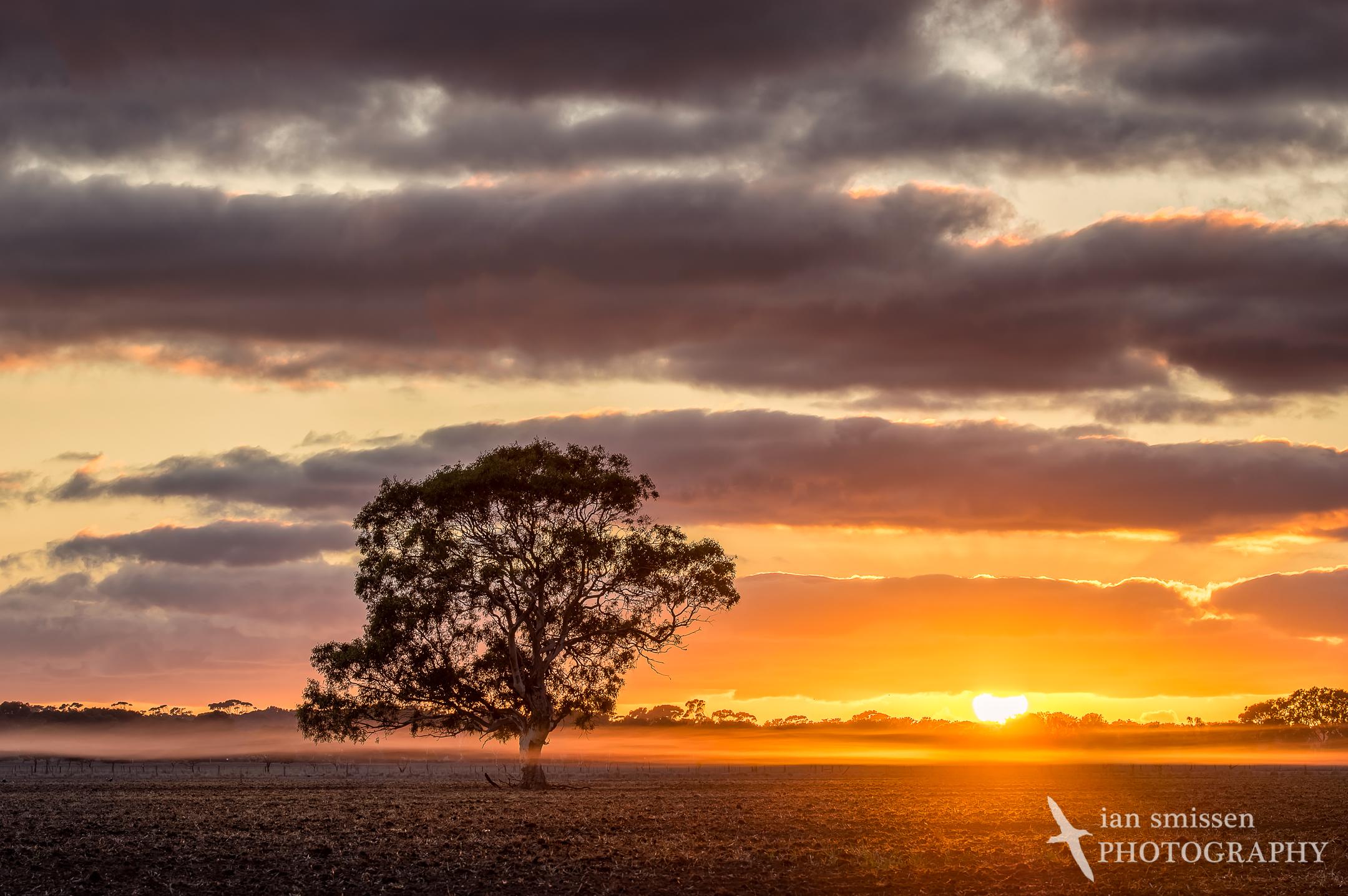 Gum tree at sunrise