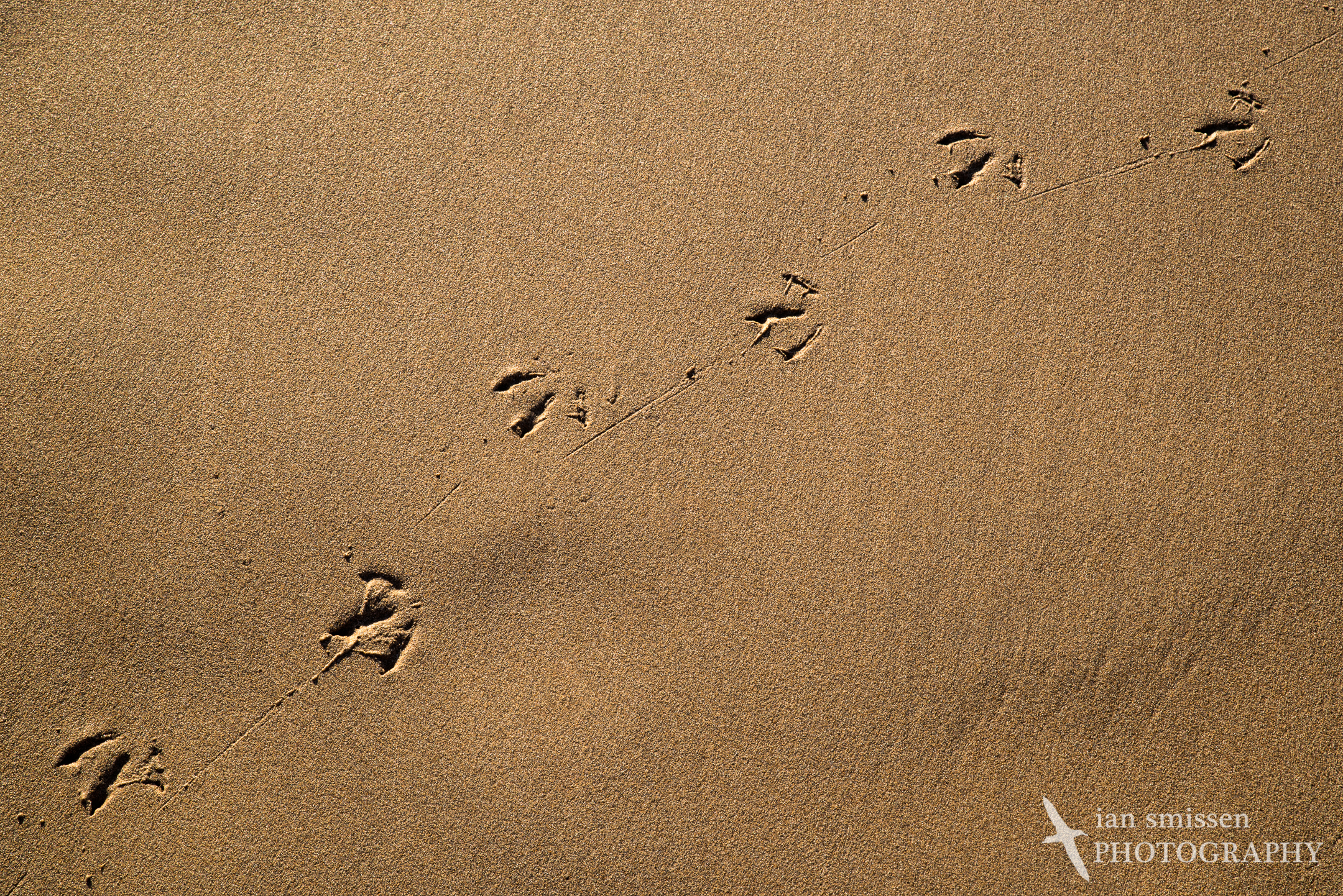 Silver Gull foot prints, Bay of Martyrs