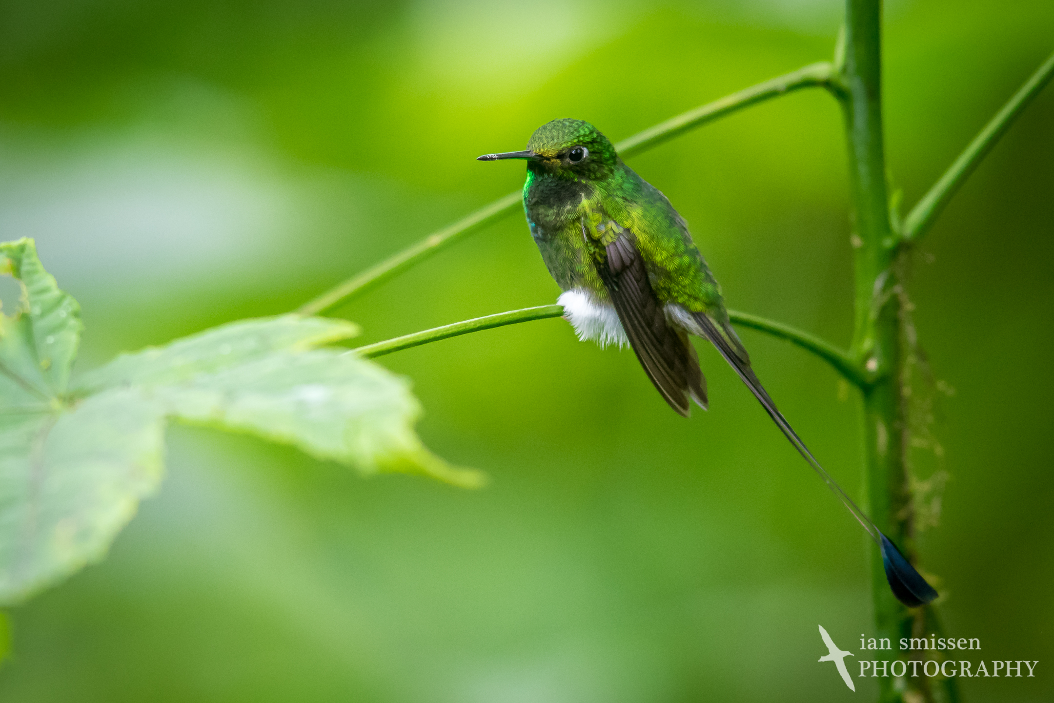 Booted Racket-tail (male)