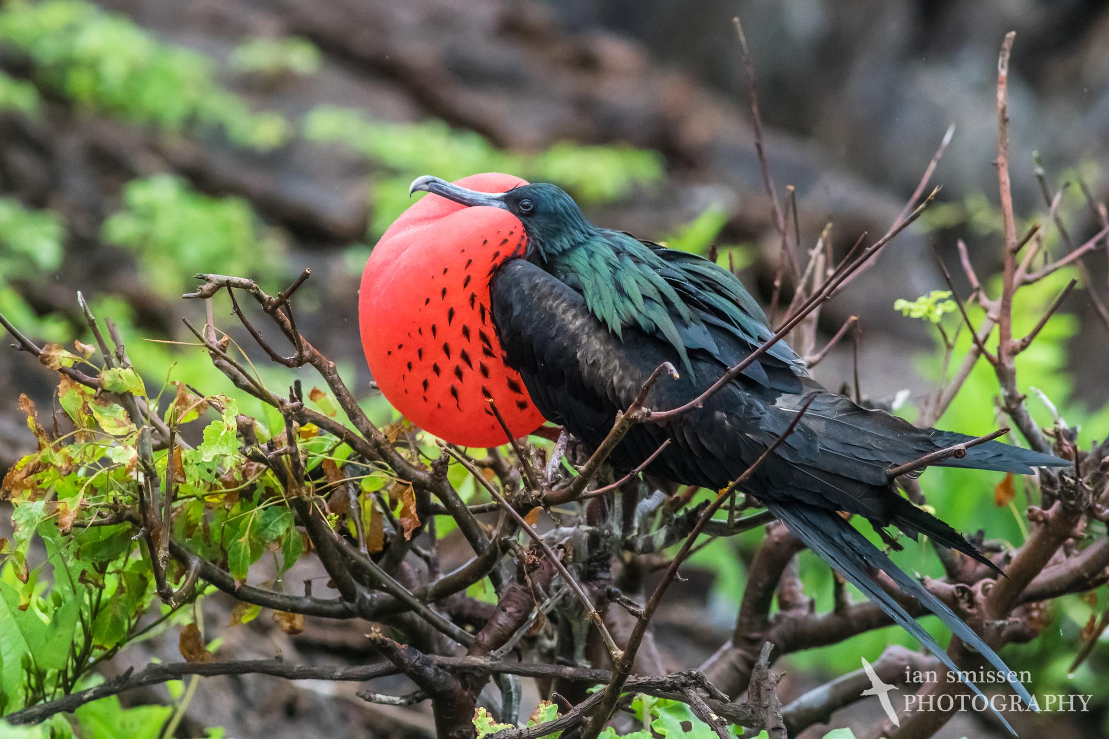 Great Frigatebird (male)
