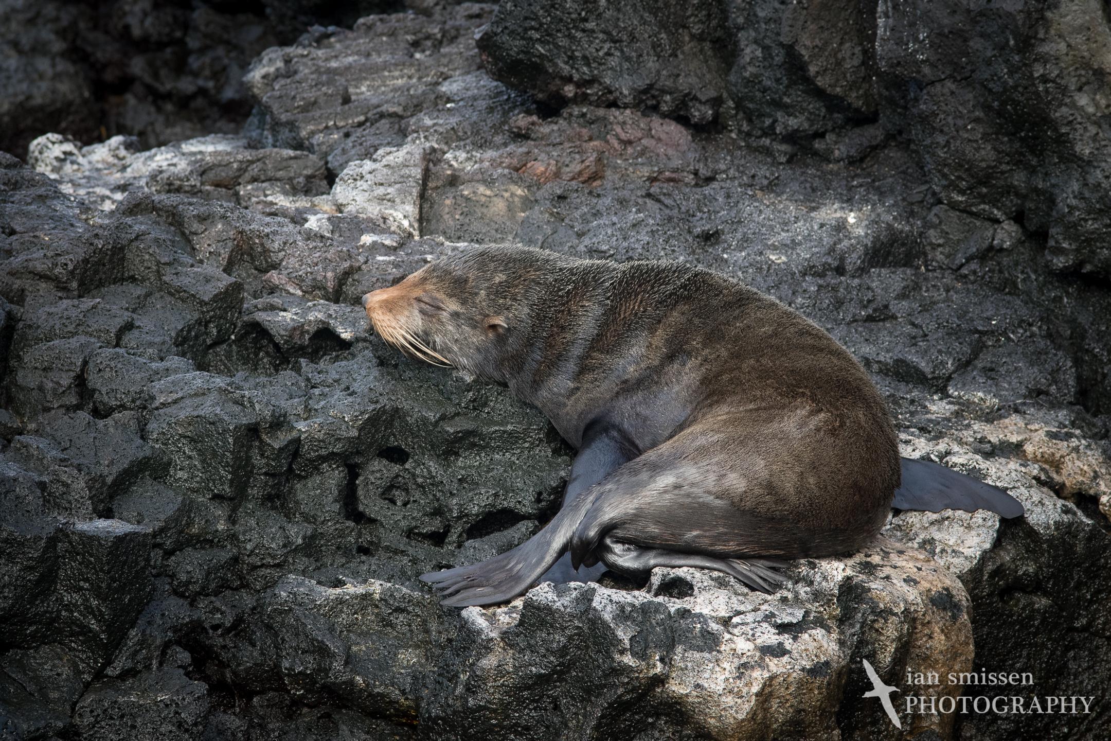 Galápagos Fur Seal (juvenile)