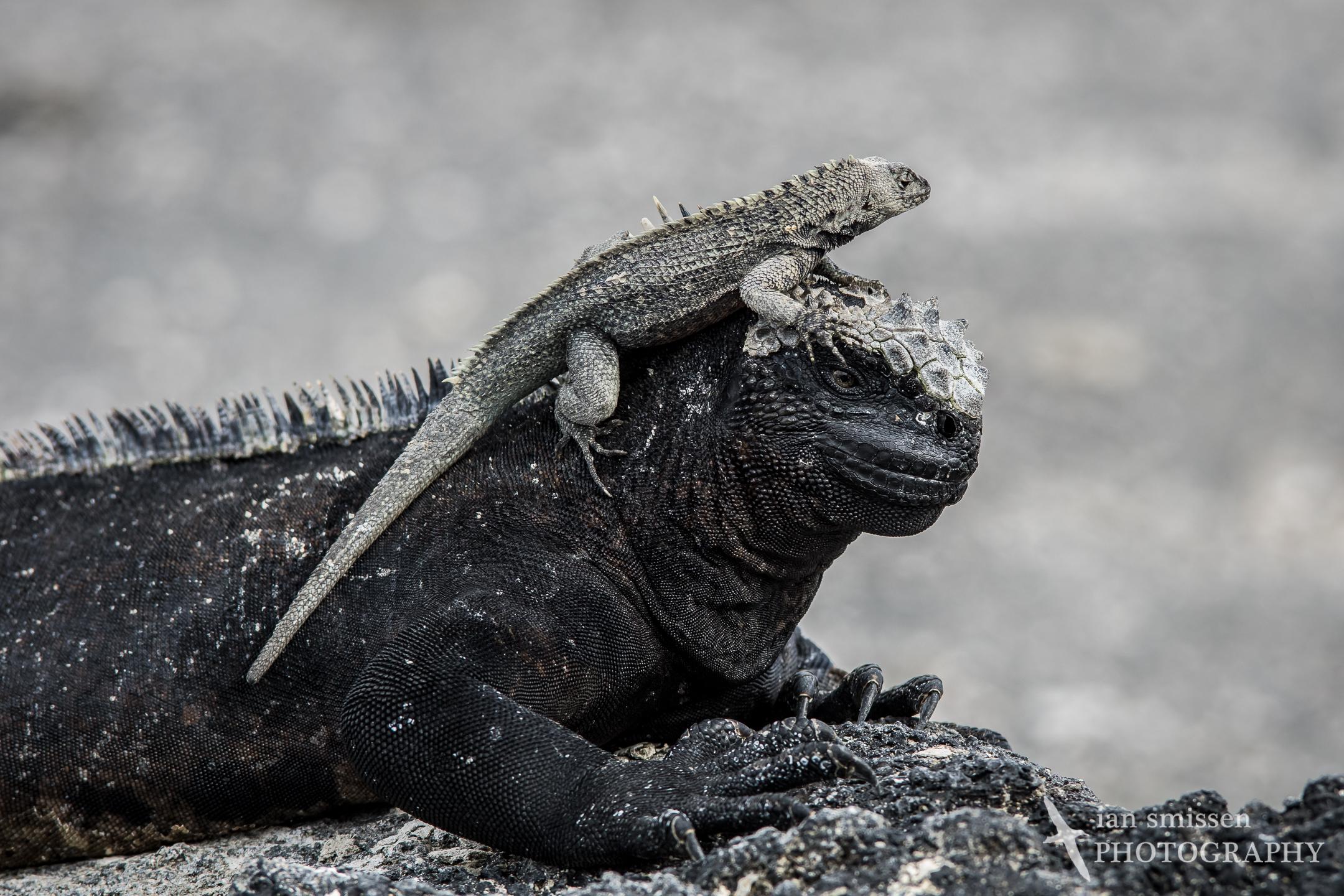 Marine Iguana and Galápagos Lava Lizard