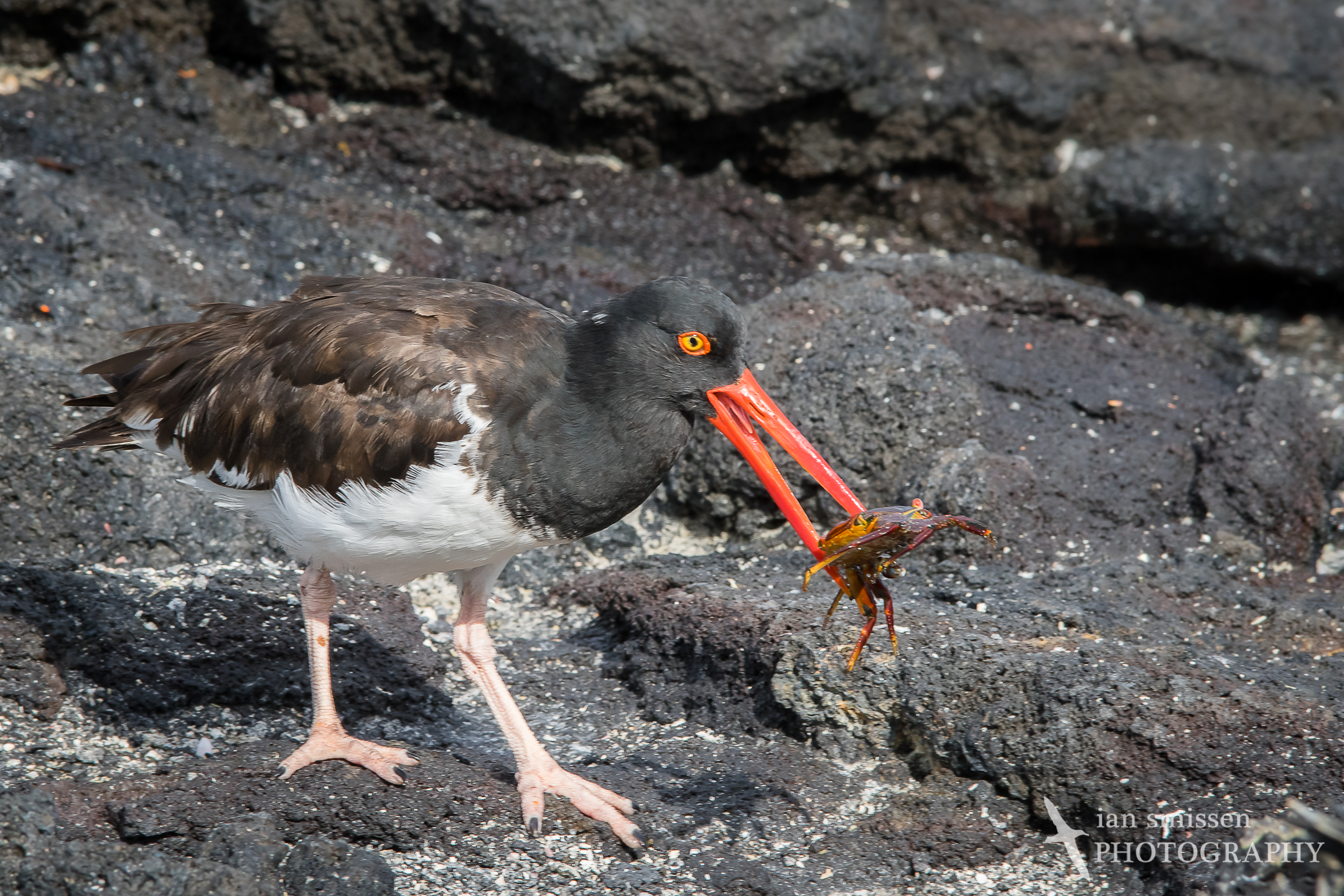 American Oystercatcher and Sally Lightfoot Crab