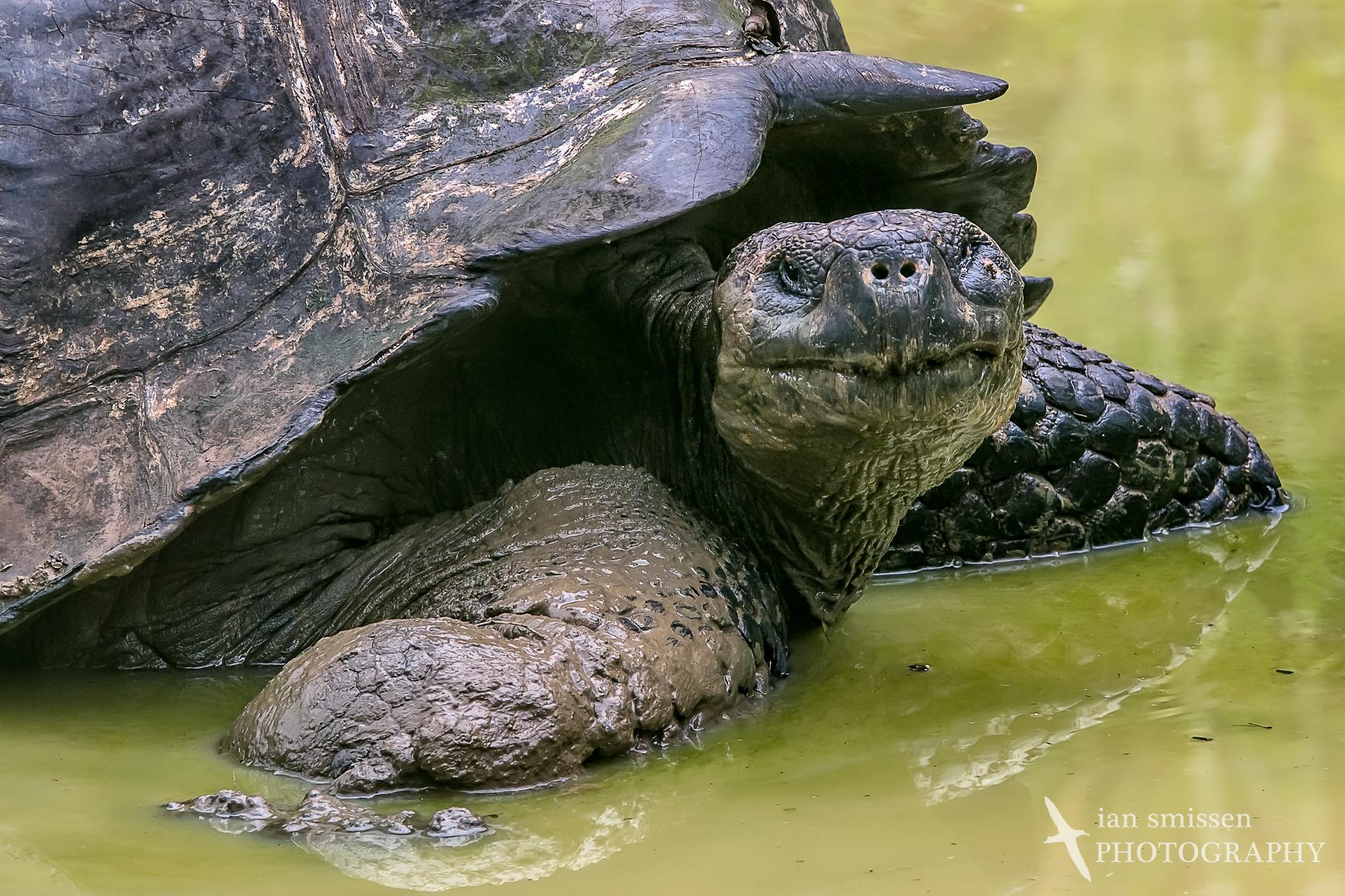 Galápagos Tortoise (Santa Cruz subspecies)