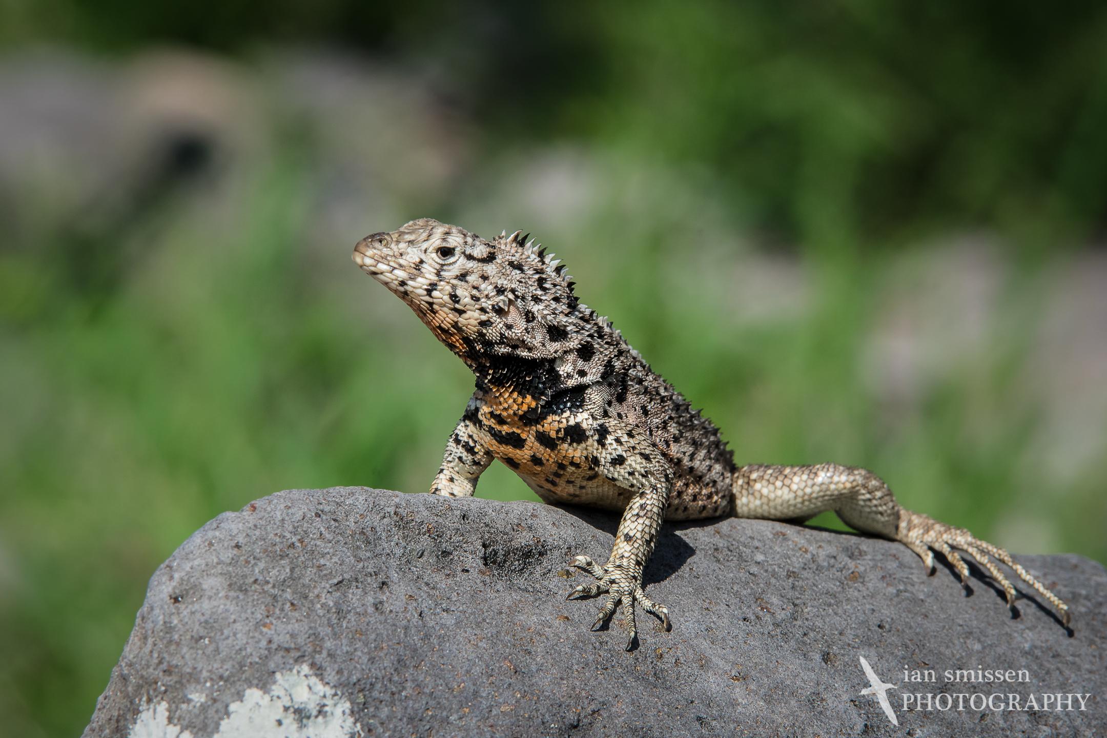 Galápagos Lava Lizard (male)