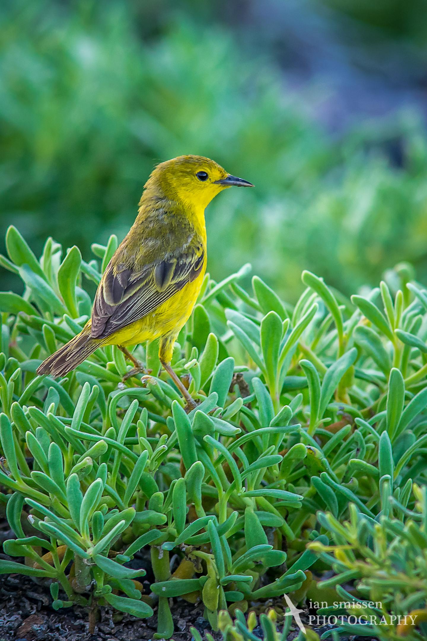 Galápagos Yellow Warbler (female)