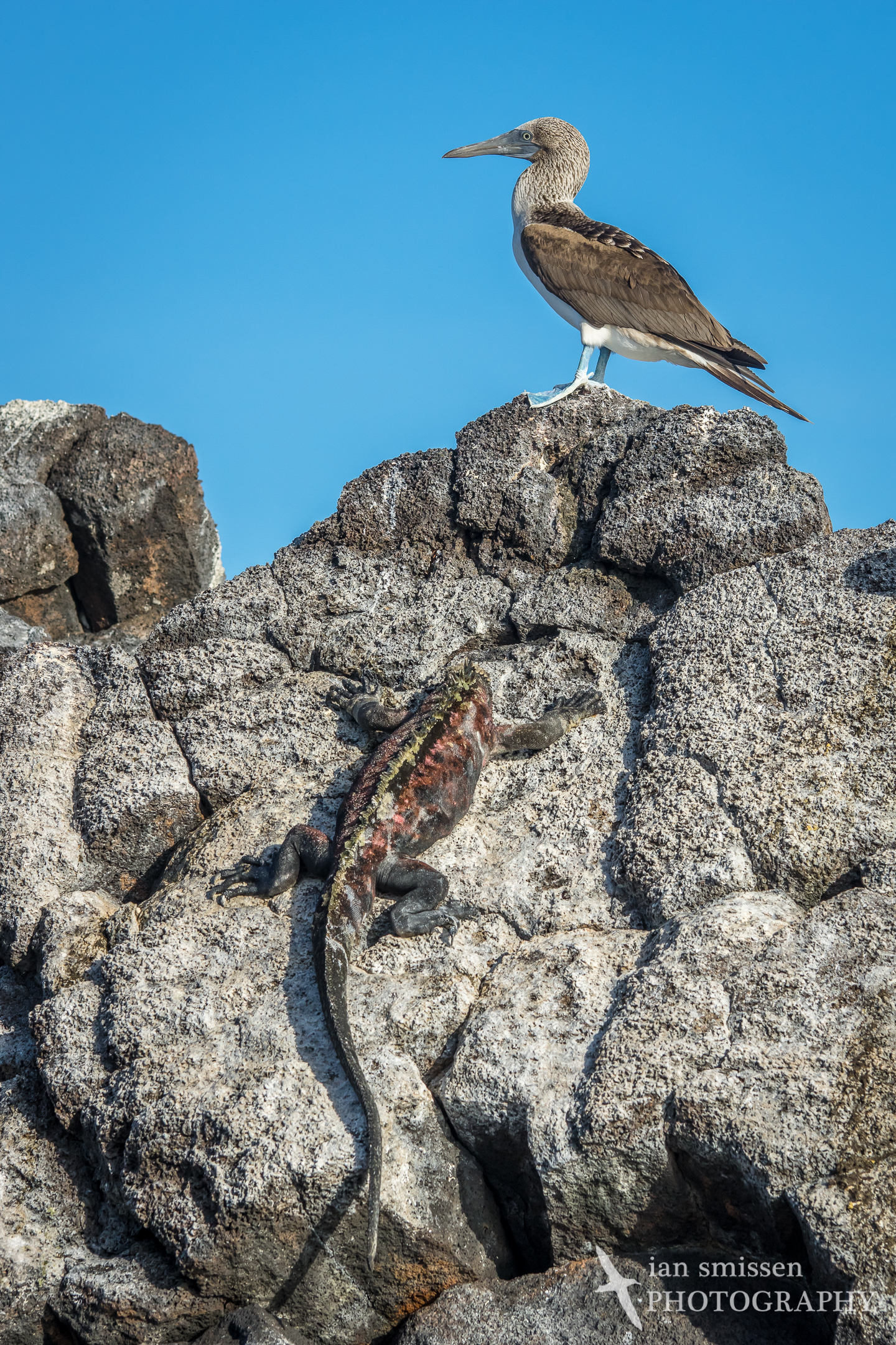 Marine Iguana and Blue-footed Booby