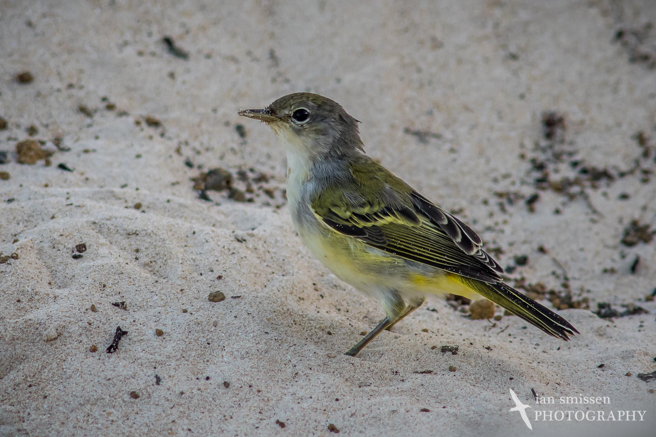 Galápagos Yellow Warbler