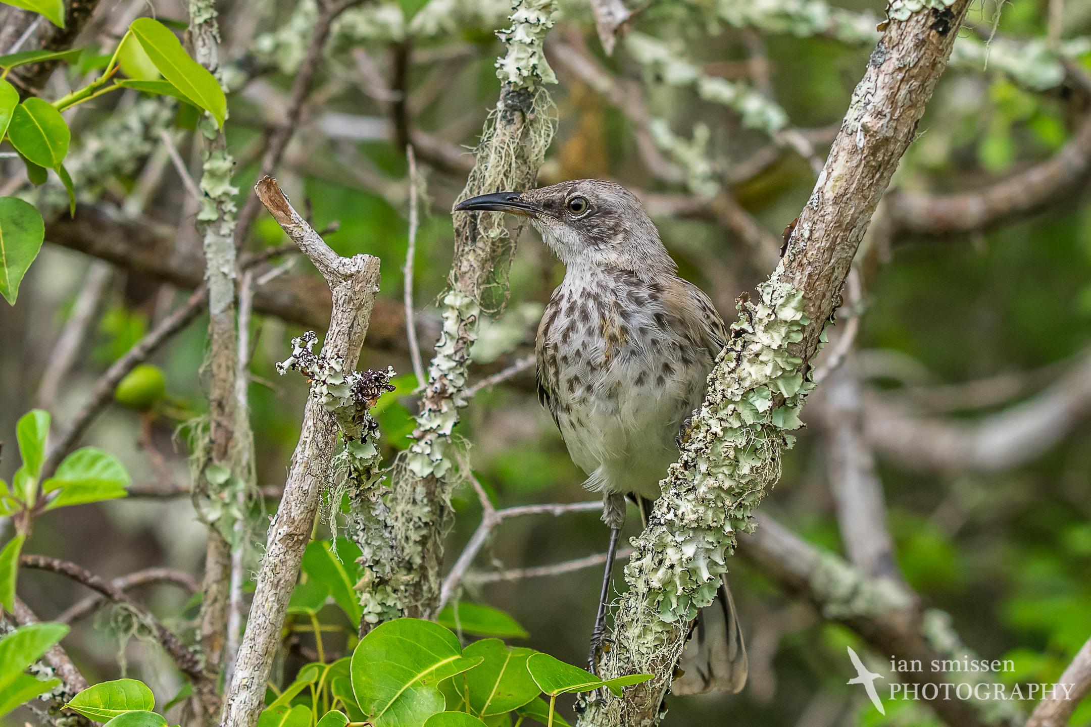 San Cristóbal Mockingbird