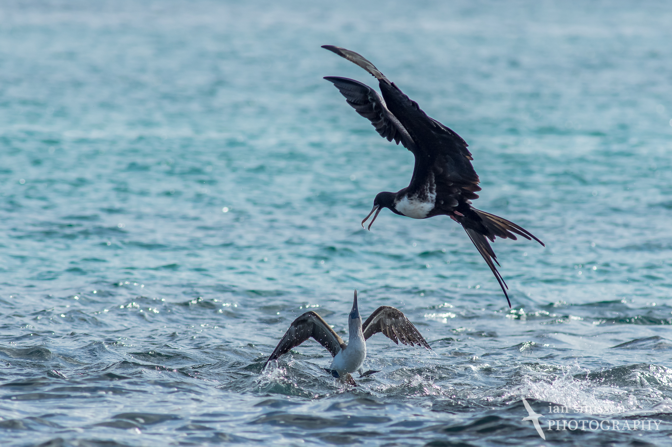 Magnificent Frigatebird and Blue-fotted Booby