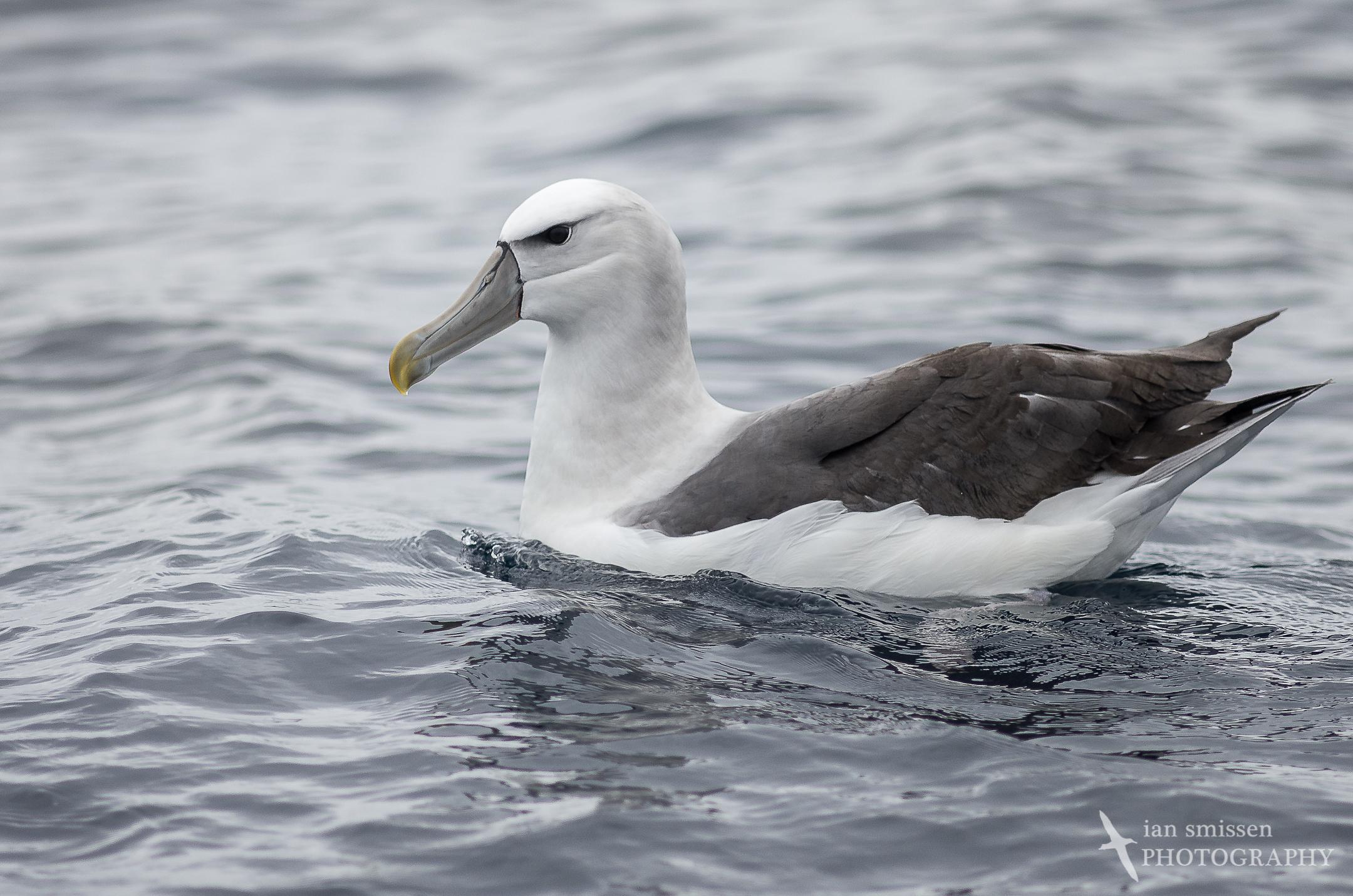 White-capped (Shy) Albatross