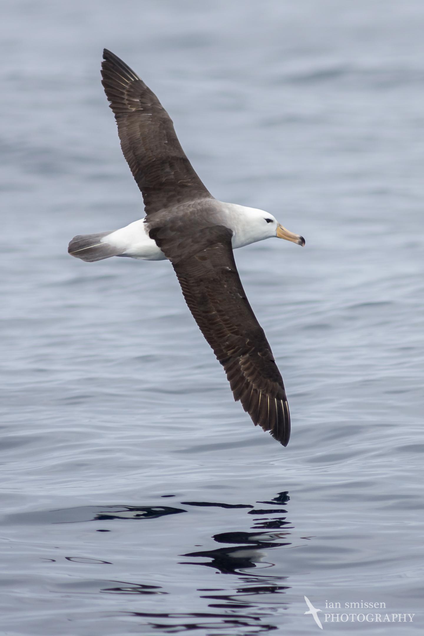 Campbell Albatross (immature)
