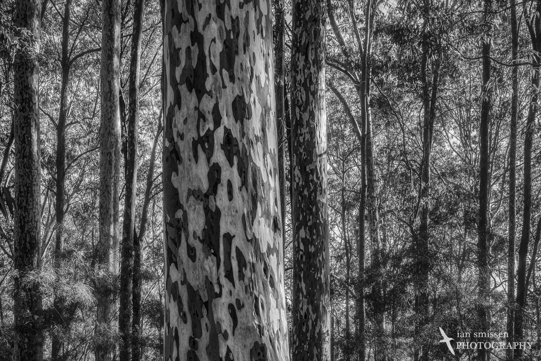 Spotted Gum forest 35mm (cropped from vertical), ISO 100, 1/40-0.4 seconds, 5-shot merged HDR