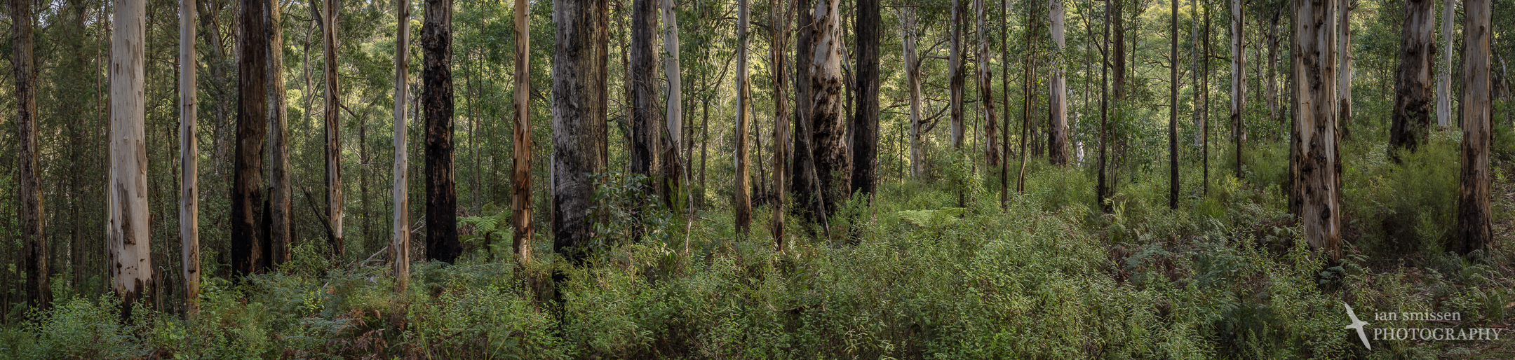 Tree trunks, Big Hill Track, Great Otway National Park, Victoria, Australia 70mm, ISO 100, 5 frame stitched panorama of 5-shot HDR 1/8 to 2 seconds @ f/16
