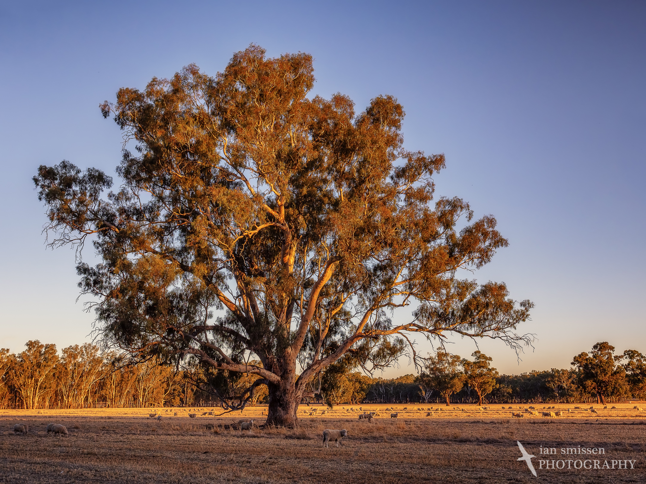 Golden light in the Murray Valley